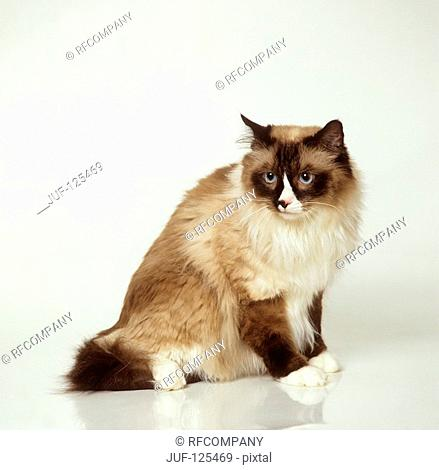 Ragdoll cat - sitting lateral - cut out
