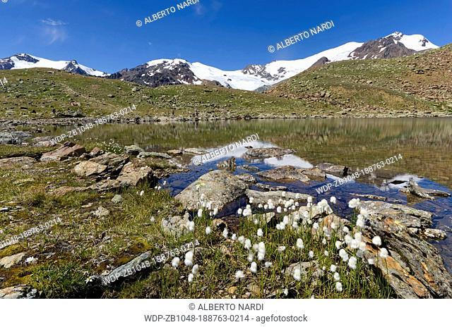 Stelvio National Park, Mt Cevedale 3 769 m , La Mare Glacier, Mt Rosole, reflection in Marmotte Alpine Lake, Cotton Grass, the Central Alps, Italy