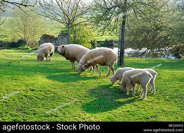 Sheep grazing in Normandy