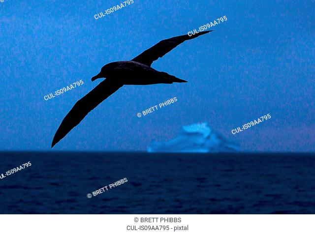 A Light-Mantled Sooty Albatross glides above the waves in the Southern Ocean