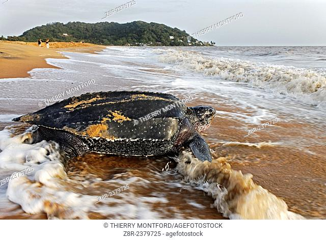 Dermochelys coriacea. Leatherback turtle on the beach of Rémire-Montjoly. Back to the Sea. French Guiana