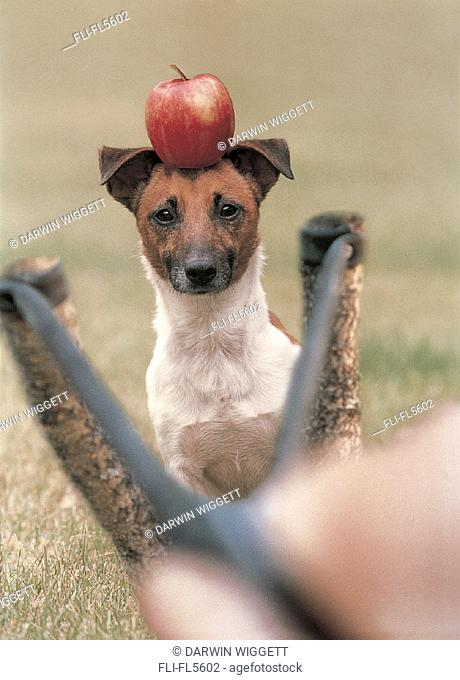 Jack Russell with Apple on Head, Hand Aiming Slingshot in Foreground