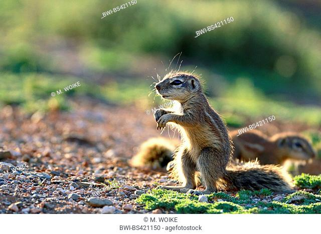South African ground squirrel, Cape ground squirrel (Geosciurus inauris, Xerus inauris), stands on the hindlegs, backlight, South Africa, Eastern Cape