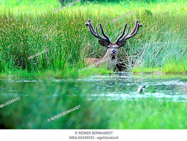 Red deer bathing in the river, Cervus elaphus