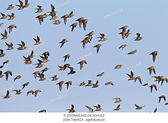 Goldregenpfeifer sind Zugvoegel - (Foto Schwarm im Ruhekleid) / European Golden Plover is a fully migratory bird - (Photo flock of birds in basic plumage) /...
