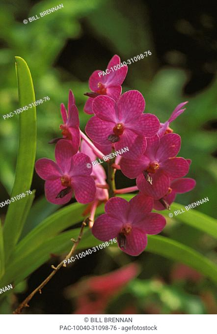 Close-up of purple Ascocenda orchids on plant, outdoors soft focus greenery in background
