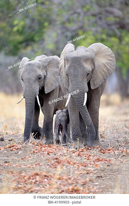 African Elephants (Loxodonta africana), cows walking protectively beside calf, South Luangwa National Park, Zambia