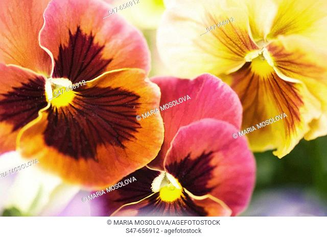 Three Pansy Flowers. Viola x wittrockiana. May 2007, Maryland, USA