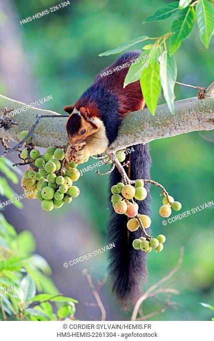 India, Tamil Nadu state, Anaimalai Mountain Range ( Nilgiri hills), Indian giant squirrel, or Malabar giant squirrel, (Ratufa indica)
