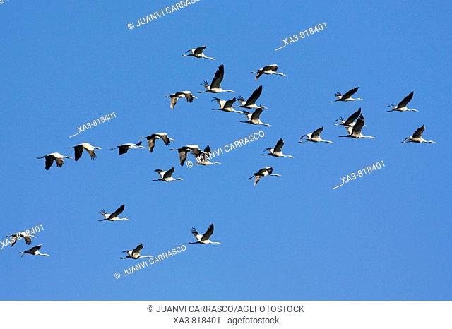 Eurasian cranes, Grus grus, in flight