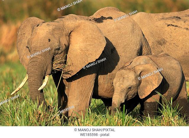 African Elephants (Loxodonta africana), Masai Mara National Reserve, Kenya
