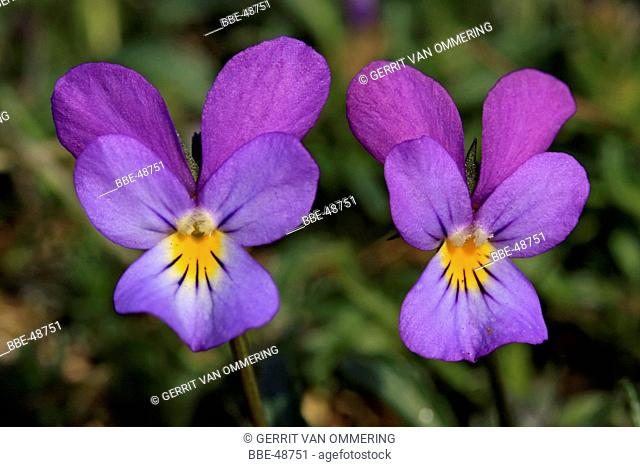 Two purple flowers of Viola curtisii, Seaside Pansy