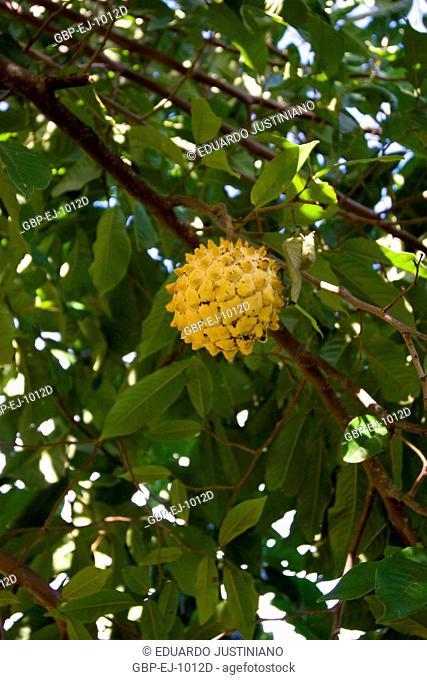 Anona (Annona sp), Annonaceae, Campina do Monte Grande, São Paulo, Brazil