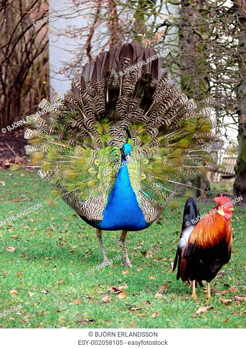 Peacock & Rooster