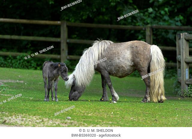 pony (Equus przewalskii f. caballus), mare with foal on a paddock, Germany