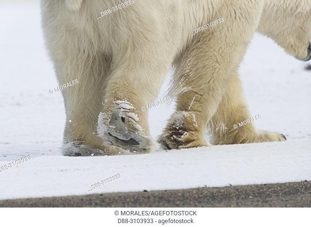 United States, Alaska, Arctic National Wildlife Refuge, Kaktovik, Polar Bear( Ursus maritimus ), walking along a barrier island outside Kaktovik, Alaska