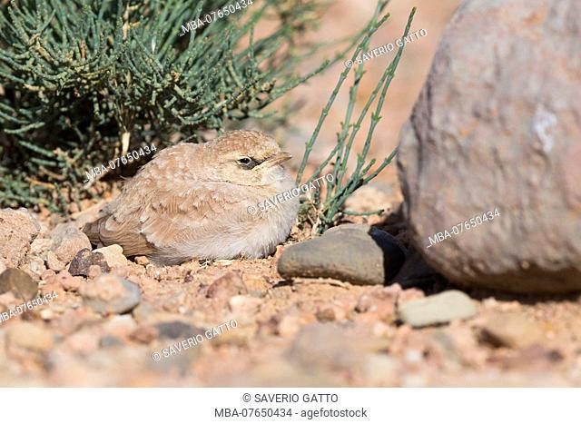 Temminck's Lark (Eremophila bilopha), fledged chick sitting on the ground