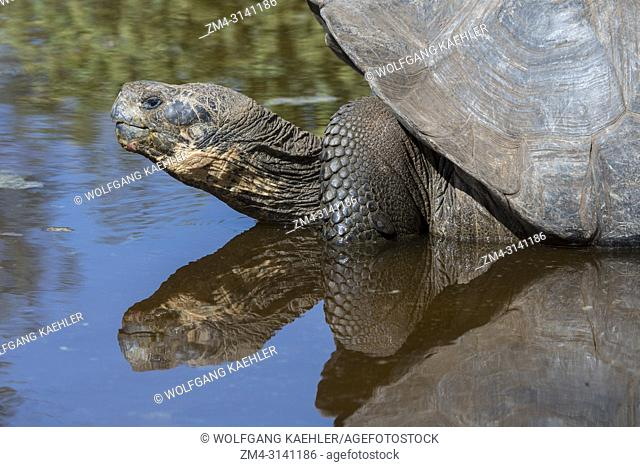 A Giant tortoise reflecting in a pond at the Charles Darwin Research Station in Puerto Ayora on Santa Cruz Island (Indefatigable) in the Galapagos Islands