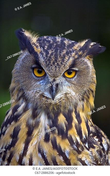European Eagle Owl Bubo bubo close up portrait of head