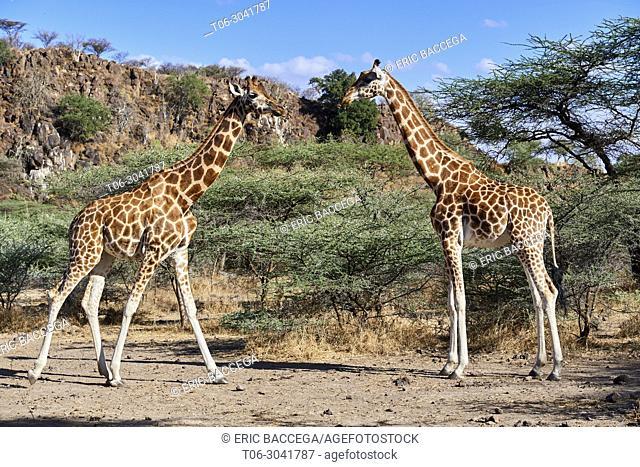 Rothschild giraffe (Giraffa camelopardalis rothschildi) group, Ruko Conservancy island, Lake Baringo, Kenya, Africa