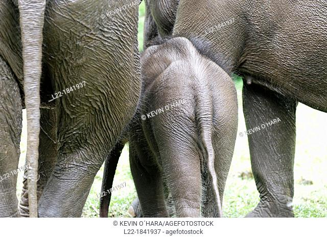 Asian or Asiatic elephant  Elephas maximus  Myanma Timber Enterprise  Katha area  Sagaing Division  Burma  Republic of the Union of Myanmar