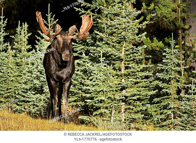 A bull moose Alces alces emerges from a stand of pine trees in Jasper National Park, Alberta, Canada