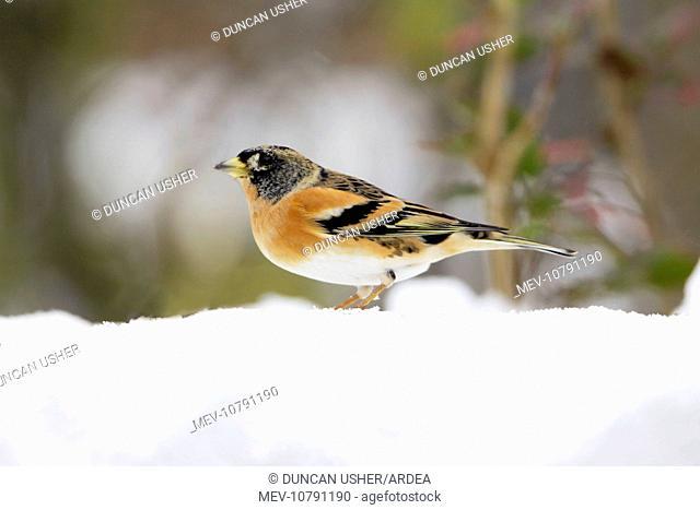 Brambling - male in winter plumage - in snow (Fringilla montifringilla)