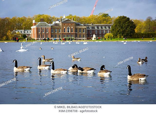 Canada goose flock. Round Pond. Kensington Gardens. London, England, United kingdom, Europe