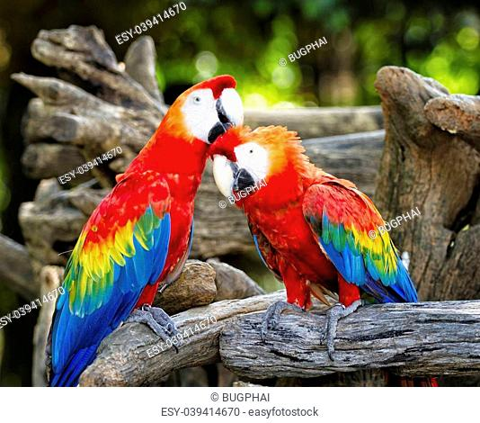 Colorful parrot macaws