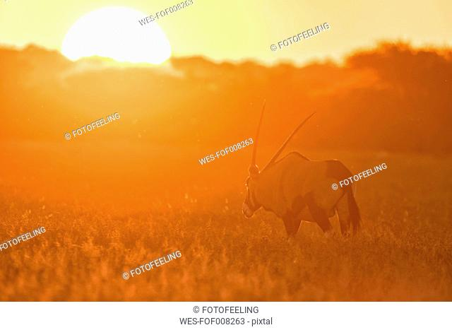 Botswana, Kalahari, Central Kalahari Game Reserve, gemsbok at sunset
