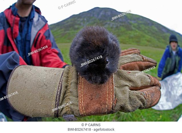 European water vole, northern water vole Arvicola terrestris, scientist examines an upland water vole, United Kingdom, Scotland, Cairngorms National Park