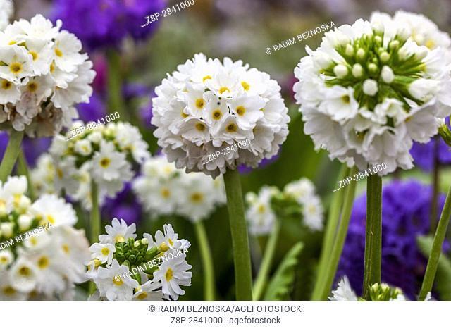 Primula denticulata 'Carolla White', Drumstick Primroses, early spring, in bloom