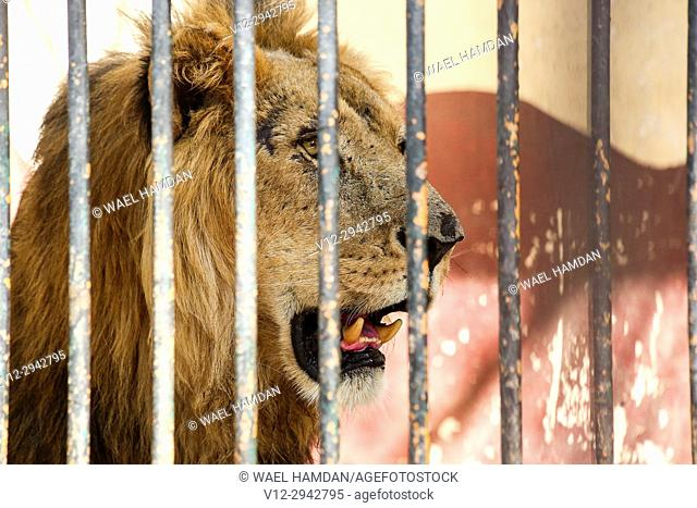 Lion, Giza Zoo, Egypt, Africa