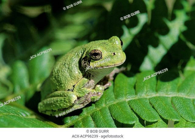 A Tree Frog (Hylidae) perched neatly on a fern in Central Ontario, Canada