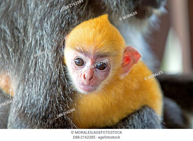 Asia,Borneo,Malaysia,Sabah,Labuk Bay,Silvery lutung or silvered leaf monkey or the silvery langur (Trachypithecus cristatus)
