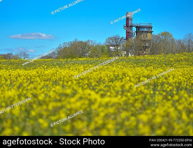 20 April 2020, Brandenburg, Joachimsthal: Behind a yellow flowering meadow is the water tower with viewing platform and elevator from the Biorama Project