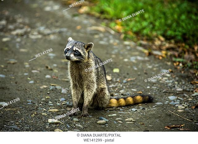 """""""""""Raccoon"""" (Procyon lotor), The most distinctive feature of the raccoon is the black mask found around the eyes of the raccoon"