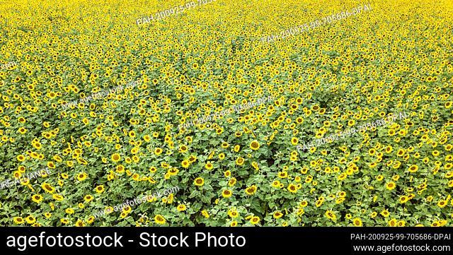 25 September 2020, Baden-Wuerttemberg, Obereschach: A blooming sunflower field near Obereschach, taken with a drone. Photo: Silas Stein/dpa