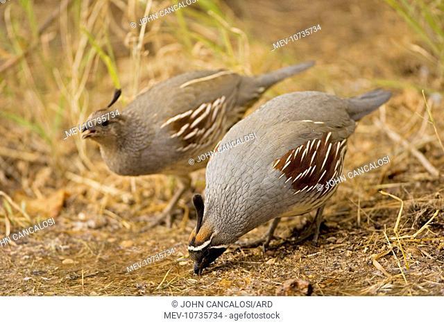 Gambel's Quail - Male and female (Callipepla gambelii)