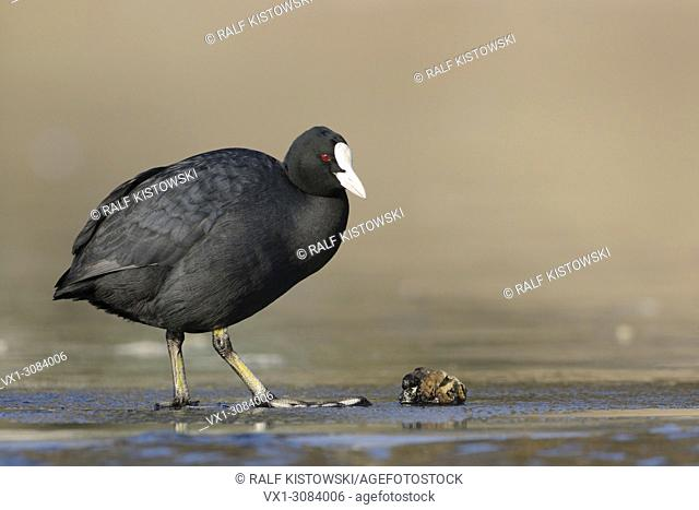 Black Coot / Eurasian Coot ( Fulica atra ) standing on ice in front of a zebra mussel, full body, length, side view, wildlife, Europe