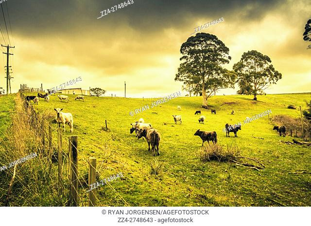 Vibrant green and yellow dairy farming field complete with cattle, fence line and trees. Camena, Tasmania, Australia