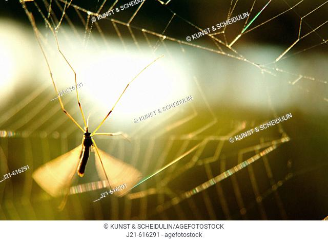 Gnat (fam. Tipulidae) cought in a spider web
