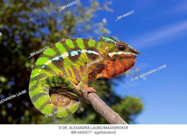 Panther chameleon (Furcifer Pardalis), male, between Ambilobe and Sirama, Northwestern Madagascar, Madagascar