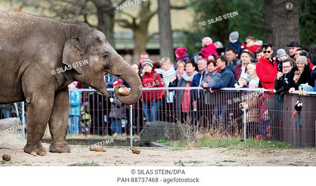 An elephant eats sugar beets in front of visitors in his enclosure at the zoo in Berlin, Germany, 5 March 2017. Photo: Silas Stein/dpa   usage worldwide