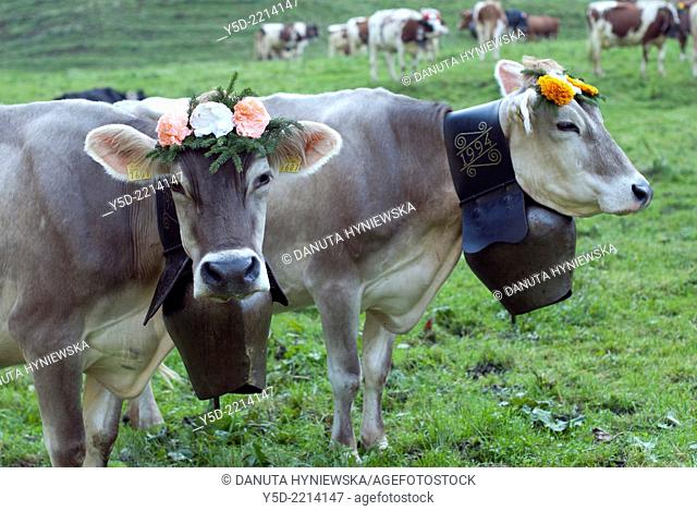 two Swiss cows decorated with flowers and cowbells, Desalpes - ceremony of coming cows back from high pastures to lower pastures for the winter