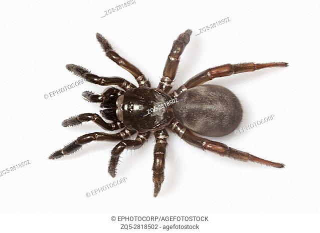 Trapdoor spider, Idiops sp., Barnawapara WLS, Chhattisgarh. FamilyIdiopidae. The species are found in South America, Africa, South Asia and the Middle East