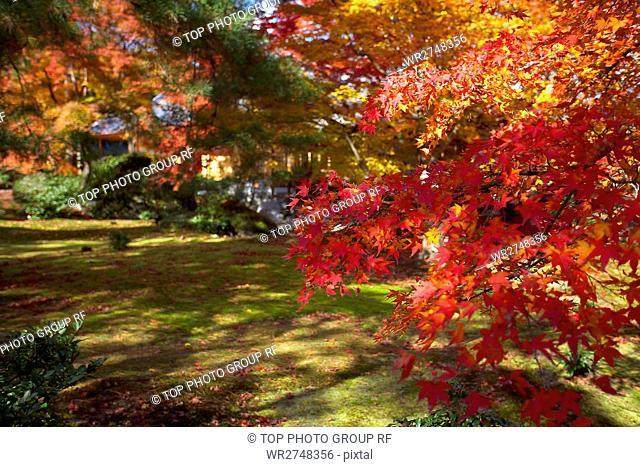 Maple Reds