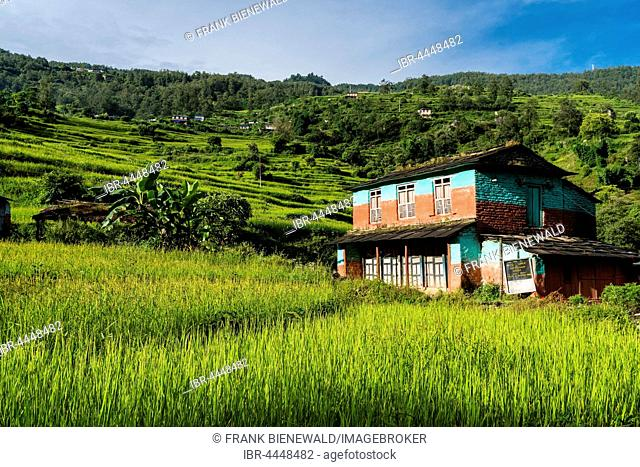 Farmhouse in agricultural landscape with green terrace rice fields, Chitre, Upper Kali Gandaki valley, Myagdi District, Nepal