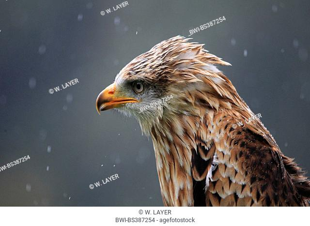 red kite (Milvus milvus), in rain, Germany