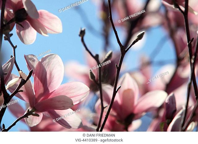 Pink and white Tulip Magnolia (Magnolia liliiflora) flowers bursting into bloom on a tree in Toronto, Ontario, Canada. The Tulip Magnolia is also commonly known...